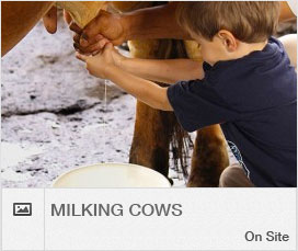 activities-scroller-milking-cows